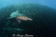 copper sharks or bronze whalers, Carcharhinus brachyurus<br /> feeding in baitball of sardines or pilchards, Sardinops sagax, the Wild Coast, Transkei, South Africa (Indian Ocean)