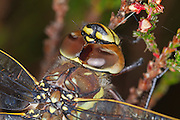 Closeup of the head of a female common hawker in Glen Affric, Scottish Highlands.