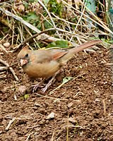 Northern Cardinal. Image taken with a Nikon 1 V3 camera and 70-300 mm VR lens.