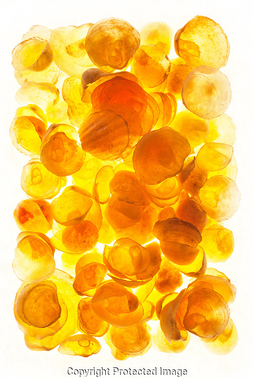 """A collection of transluscent golden yellow Jingle shells has been arranged o fill the camera's rectangular view on a light box. In some areas, where there is more dark sediment in the water, they are a dark sliver color, nd some are orange. Some people call them """"baby's feet"""" for the pattern on top near the hinge. A live animal  lives its life attached to a rock or other substrate by strong byssal threads from a hole in it's base valve or shell. Like muscles, they are filter feeders."""