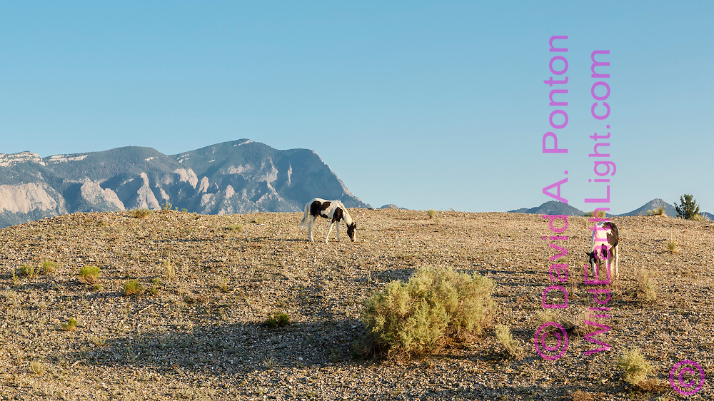 Mustang pintos grazing hillside in arid land in the New Mexico landscape near Placitas, with the Sandia Mountains in the background, © David A. Ponton