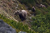 Wild European Brown bear (Ursus arctos), female with two yearling cubs emerging from Dwarf pines (Pinus mugo). Western Tatras, Slovakia. June 2009. Mission: Ticha