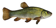 Tench Tinca tinca Length 20-40cm<br /> The Tench is a thick-bodied fish with a proportionately large tail and rounded fins; the body is mainly greenish but the belly is flushed red. It is a widespread native of sluggish rivers and weedy lakes.