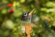 An American robin (Turdus migratorius) searches for food in thick foliage in Discovery Park, Seattle, Washington.