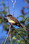 Galapagos Flycatcher, Myiarchus magnirostris, on branch in tree, Galapagos, Ecuador