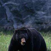 Black Bear, (Ursus americanus) Adult. South eastern Alaska.