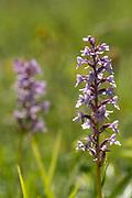 Fragrant Orchid, Gymnadenia conopsea, Park Gate Down, Kent Wildlife Trust, UK