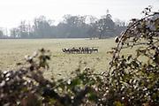 Herd of deer in field, Suffolk Sandlings landscape, Butley, Suffolk, England, UK