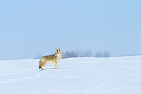 I went for a drive East of Calgary and came across a pair of Coyotes on the open prairie. The first one took off running almost immediately (very typical coyote beahviour) but the second one unexpectedly stood proudly and let me watch for awhile...©2011, Sean Phillips.http://www.RiverwoodPhotography.com