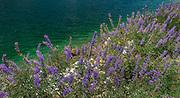 Native Wild Flowers Near the Lake at Tioga Pass