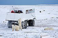 01874-11205 Polar bears (Ursus maritimus) near Tundra Buggy, Churchill, MB