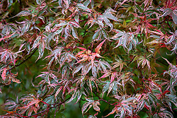 Acer palmatum 'Shirazz' - Japanese maple