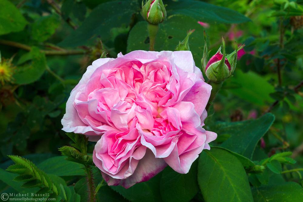 "'Fantin Latour' ( Rosa centifolia ) - an ""Old Garden Rose"" blossoming during the spring in a backyard rose garden"