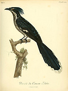 Coucou Edolio - Male from the Book Histoire naturelle des oiseaux d'Afrique [Natural History of birds of Africa] Volume 5, by Le Vaillant, Francois, 1753-1824; Publish in Paris by Chez J.J. Fuchs, libraire 1799