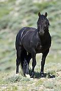 Wild mustang black stallion in the Red Desert of Wyoming