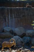 Nubian Ibex (Capra nubiana), Los Angeles Zoo, Griffith Park, Los Angeles, California