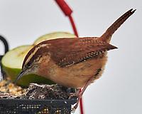 Carolina Wren (Thryothorus ludovicianus). Image taken with a Nikon D850 camera and 600 mm f/4 VR lens.
