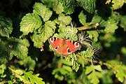 European Peacock butterfly, Aglais io, Suffolk, England, UK