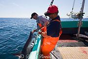 longline fishermen pull a porbeagle shark ( Lamna nasus ) into the boat, in a legal and managed fishery, Nova Scotia, Canada ( North Atlantic Ocean )