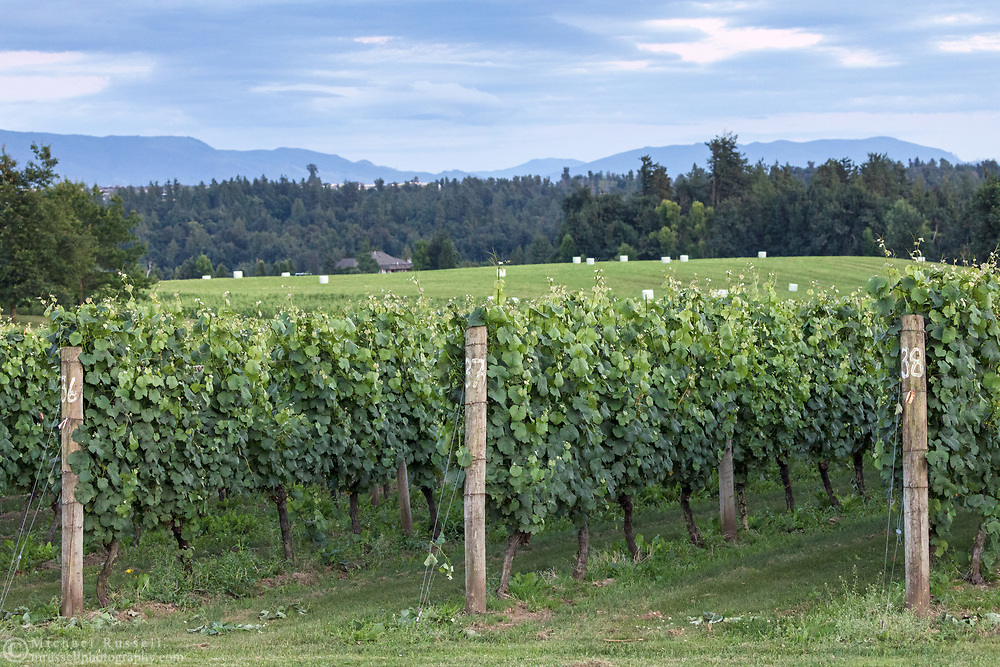 Rows of grape vines in the vineyard at the  Mount Lehman Winery in Abbotsford, British Columbia, Canada