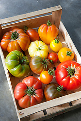 Heirloom tomatoes in a box at Worton Organic Farm Shop. Tomato 'Gold Medal', 'Orange Banana', 'Black Sea Man', 'Stupice', 'Orange Russian', 'Believe It or Not', 'Wapsipinicon', 'White Queen', 'Aunt Ruby's German Green', 'Nyagous', 'Caro Rich', 'Brandywine', 'Sudduth's Strain', 'Jaune Flamme'