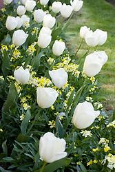 Tulipa 'Ivory Floradale' with Erysimum 'Primrose'