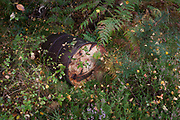 A long-forgotten oil drum lies among heather and ferns, in woodland, on 25th September 2017, in Rothbury, Northumberland, England.