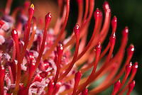 Leucospermum cuneiforme flower head, Fernkloof Nature Reserve, Hermanus, Western Cape, South Africa