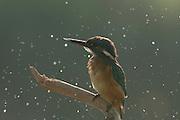 Common Kingfisher, Alcedo atthis, AKA Eurasian Kingfisher or River Kingfisher Israel Summer August 2008