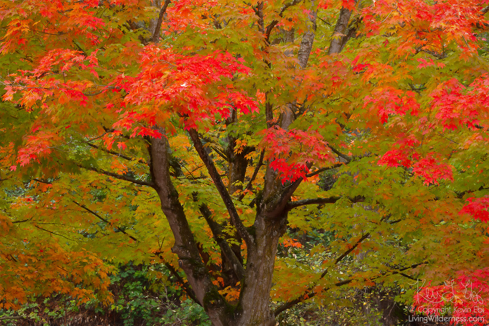 In early autumn, a maple tree shows a wide variety of fall colors in Gene Coulon Memorial Beach Park, Renton, Washington.