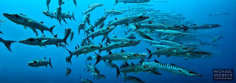 A smaller school of saw-toothed barracuda (Sphyraena putnamae) splitting off from the main school to investigate me in mid water.<br /> <br /> Code: COPU0001<br /> <br /> Open Edition Print / Stock Image