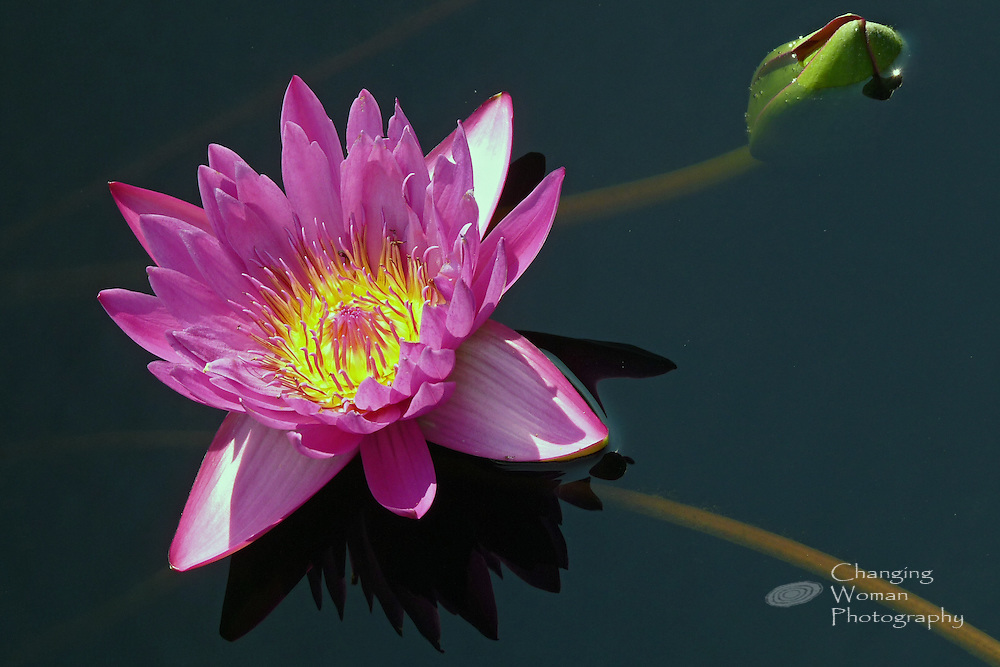 """Waterlily bloom features pink sepals, bright medium pink petals, and pink-tipped yellow anthers characteristic of the """"Shirley Byrnel"""" cultivar, Brachyceras Nymphaea, found at Longwood Gardens, July 2010."""