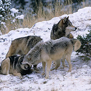 Gray Wolf, (Canis lupus) Alpha showing dominance among pack. Rocky mountains. Montana. Winter. Captive Animal.