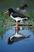 Oystercatcher portrait reflected in water {Haematopus ostralegus} Germany