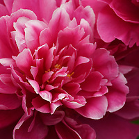 """""""Welcome to Spring""""<br /> <br /> Gorgeous deep pink and mauve fully blossomed Peony!"""