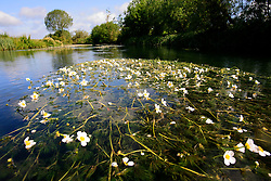 UK ENGLAND WILTSHIRE 26JUN08 - Flora atop river weeds growing in the river Kennet near Stichcoombe in rural Wiltshire, western England...jre/Photo by Jiri Rezac / WWF UK..© Jiri Rezac 2008..Contact: +44 (0) 7050 110 417.Mobile:  +44 (0) 7801 337 683.Office:  +44 (0) 20 8968 9635..Email:   jiri@jirirezac.com.Web:     www.jirirezac.com..© All images Jiri Rezac 2008 - All rights reserved.