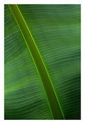 backlit banana leaf at Wisley gardens, England