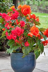 Begonia 'Expresso Pastel'