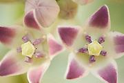 Pink/Purple Flowers, Ifaty, Madagascar,
