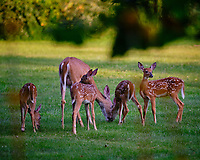 Mommy telling Alpha fawn to stop being a bully. Image taken with a Fuji X-T3 camera and 200 mm f/2 lens