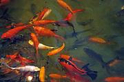 Goldfish swim in a pond