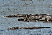 American alligators bask in shallow water at the Donnelley Wildlife Management Area March 11, 2017 in Green Pond, South Carolina. The preserve is part of the larger ACE Basin nature refugee, one of the largest undeveloped estuaries along the Atlantic Coast of the United States.