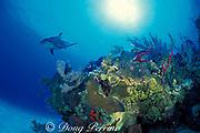 Spot, a wild, lone, sociable bottlenose dolphin, Tursiops truncatus, explores a patch reef, Cayman Islands ( Caribbean Sea )