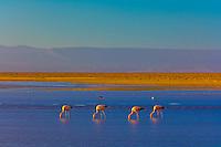 James' Flamingos, Atacama Salt Flat (Salar de Atacama), Chaxa Lagoon, Los Flamencos National Reserve, Soncor Sector, Atacama Desert, Chile