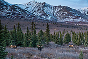 A bull Alaskan moose with potential female mates during the autumn rut in Denali National Park, McKinley Park, Alaska.