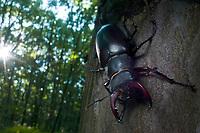 Staghorn beetle (Lucanus cervus), Codrii Nature reserve, Moldova.