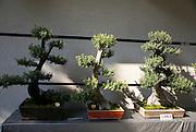 Takayama, Japan Bonsai Trees
