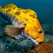 This is a male fat greenling (Hexagrammos otakii) tending to eggs. The eggs comprise several clutches from a number of females.  During the autumn to winter breeding season, mature males like this one establish territories and adopt a brilliant yellow-orange coloration. The males court passing females, which can choose to spawn with or to ignore a given male.