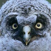 Great Gray Owl, (Strix nebulosa) Portrait of fledged chick. Montana.