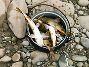 Freshly caught catfish which the boatmen/fishermen caught by electric fishing in the Nam Ou river, Phongsaly province, Lao PDR. The Nam Ou river connects small riverside villages and provides the rural population with food for fishing. But this river and others like it, that are the lifeline of rural communities and local economies are being blocked, diverted and decimated by dams. The Lao government hopes to transform the country into 'the battery of Southeast Asia' by exporting the power to Thailand and Vietnam.
